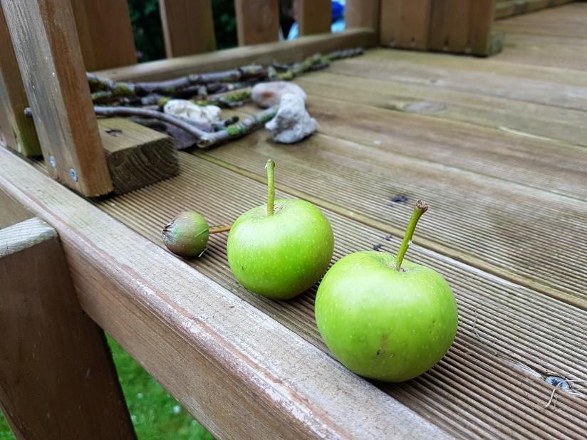 Zu frühe Apfelernte