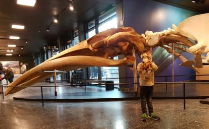 Finnwalschädel